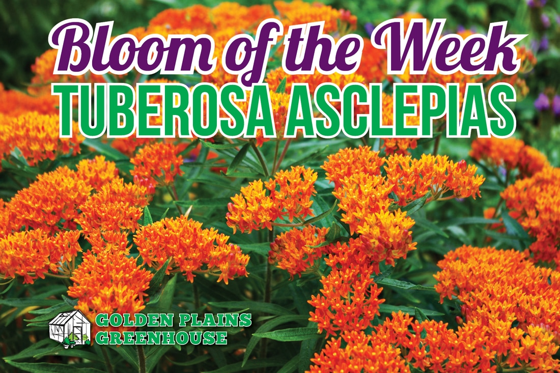 Asclepias, Butterfly Weed, Tuberosa