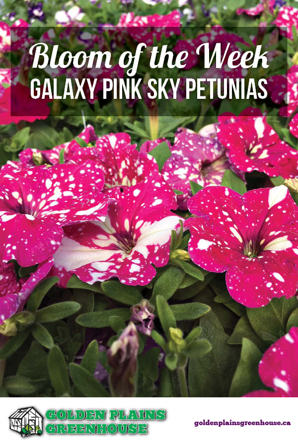 Bloom of the Week - Galaxy Pink Sky Petunias