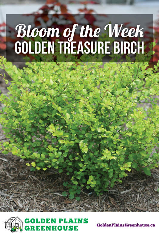 Bloom of the Week - Golden Treasure Dwarf Birch