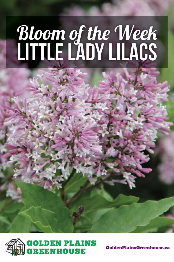 Bloom of the Week - Little Lady Lilacs