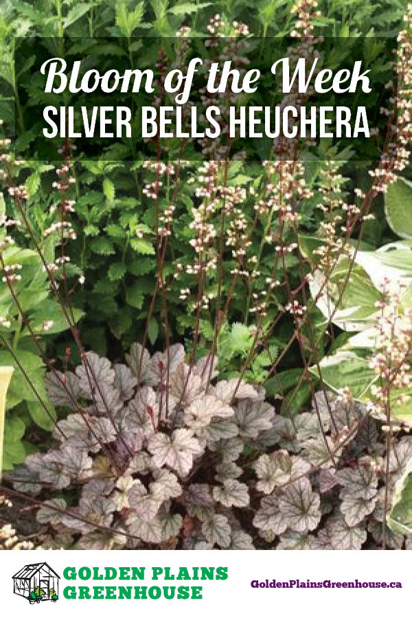 Bloom of the Week: Silver Scrolls Heuchera