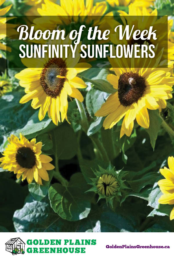 Bloom of the Week: Sunfinity Sunflowers