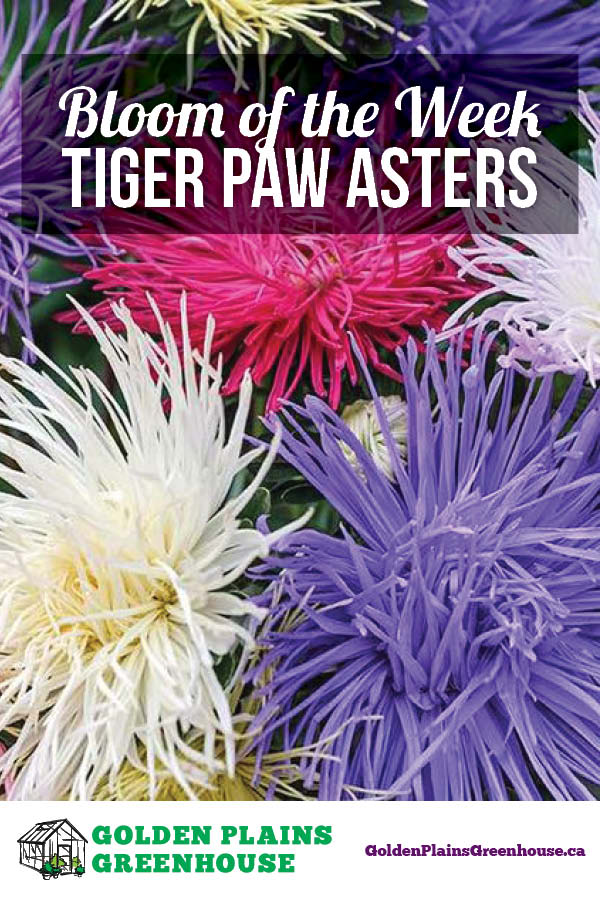 Bloom of the Week - Tiger Paw Asters